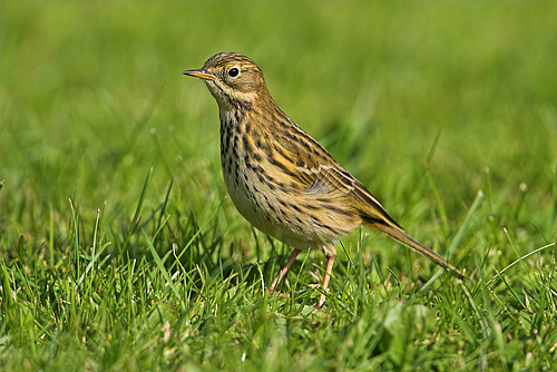 Birds that specialise on insect food have declined across Europe by 13%. This includes the meadow pipit (<em>Anthus pratensis</em>). (Picture: Mathias Schaef, living-nature.eu)