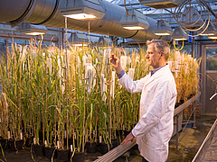 One of the study authors, Nils Stein, observes cereal plants in the greenhouse (photo: IPK/Sebastian Mast).