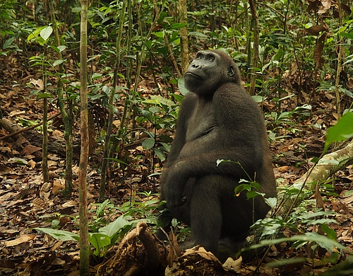 A western lowland gorilla in the rainforests of the Republic of Congo. A decade-long study on Western Equatorial Africa&rsquo;s western lowland gorillas (<em>Gorilla gorilla gorilla</em>) and central chimpanzees (<em>Pan troglodytes troglodytes</em>) has revealed there are more of these animals in the wild than previously thought. (Picture: Forrest Hogg/WCS)