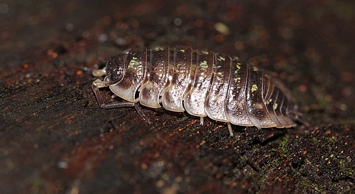 Woodlice are important detrivores in the soil. (Picture: Sarah Zieger)