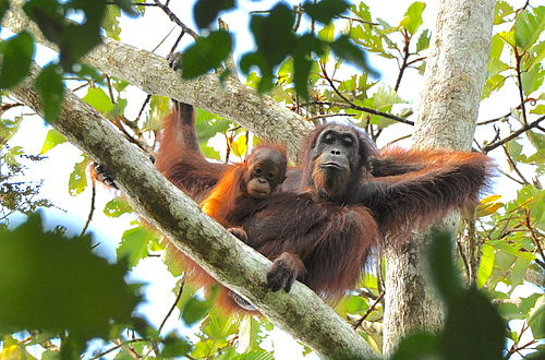 Scientists call for the employment of scientifically sound methods for monitoring orangutan populations. (Picture: HUTAN-KOCP)