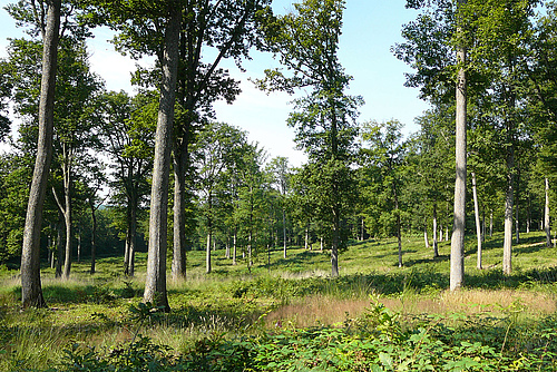 150 years old oak trees in the Forêt domaniale de Bercé (Photo: INRA / Didier Bert).