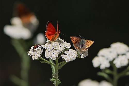 The scarce copper (Lycaena virgaureae) and the sooty copper (Lycaena tityrus). (Picture: Petra Druschky, Wandlitz)