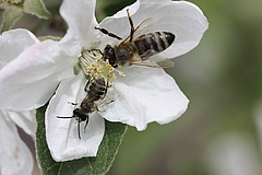 Honey bee worker and male sand bee on an apple tree blossom. Apples are insect-pollinated fruits. Picture: Martin Husemann