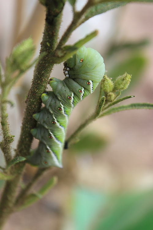 Caterpillars of the tobacco hawk moth (<em>Manduca sexta</em>) can tolerate nicotine well, but if their host plant produces other chemical substances, they look for a new feeding place if possible. (Picture: Pia Backmann)