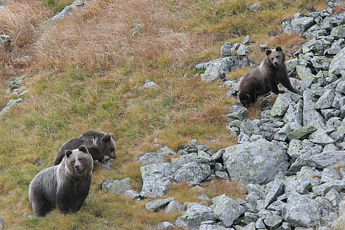Female bear with her two cubs roaming in search for bilberries in September, Tatra mountains, Polish Carpathians. (Picture: Adam Wajrak)