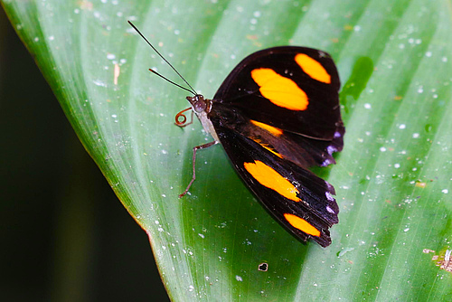 Data to assess distributions and trends varies vastly among groups of organisms. Many tropical butterflies like the blue-frosted banner (Catonephele numilia) often only have a few records (picture: Walter Jetz).
