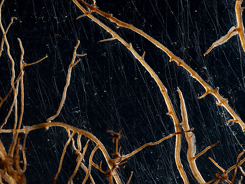 Plant roots with associated mycorrhizal fungi. (Picture: Super Organism, visual artist Suzette Bousema)