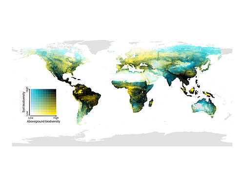 The global distribution of the match of biodiversity above the ground (mammals, birds, amphibians and plants) and below (soil invertebrates, fungi and bacteria). Dark areas have high biodiversity above and in the soil; light yellow areas have high above-ground biodiversity but low diversity in the soil; blue areas have low above-ground biodiversity, but species-rich soil communities; and light areas are species-poor above and below the soil surface. (Picture: Conservation Biology)