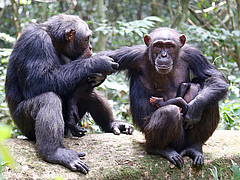 In the Ivory Coast's Taï National Park the anthrax pathogen Bacillus cereus biovar anthracis is posing a serious threat to wildlife, including chimpanzees (Photo: MPI f. Evolutionary Anthropology/ L. Samuni)