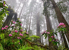 Coast redwoods (Sequoia sempervirens) can be up to 115 meters high, and reach up to seven meters in diameter. These evergreen conifers are the highest trees on earth. Photo: Save The Redwoods League