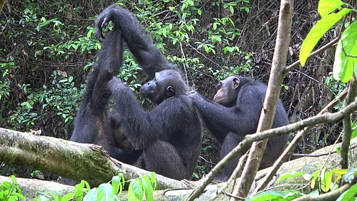 Male chimpanzees of the Rekambo community groom one another. (Picture: Tobias Deschner/Loango Chimpanzee Project)