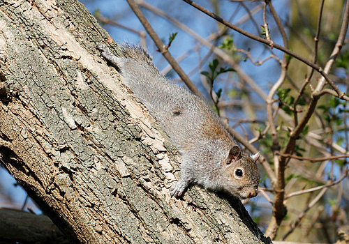 "The Gray Squirrel (Sciurus carolinensis) displaces the native European Squirrel (Sciurus vulgaris) in the United Kingdom and other EU countries. It was therefore included in the blacklist of the EU (""List of invasive non-resident species of Union concern"") in 2016 and must be actively combated in the European Union. Photo: Tim M. Blackburn, University College London"