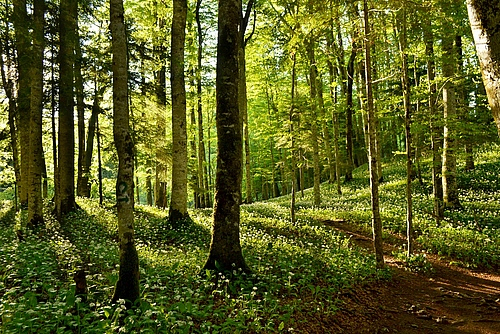 European beech forest in Biogradska Gora National Park in Bosnia-Herzegovina (photo: Eleonora Giarizzo).