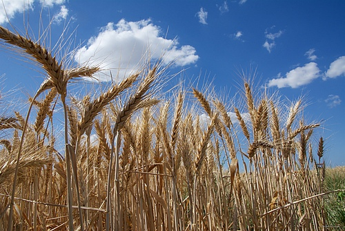 Arable field with wheat (picture: Isabelle Caugant, IWGSC Picture Library).