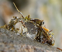 Net of a caddis fly larva, built for catching prey (photo: Steve Ormerod)