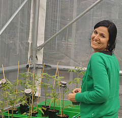 First study author Ainhoa Martínez-Medina in the green house with experimental tomato plants.