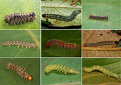 A selection of caterpillars associated with New Guinean figs.