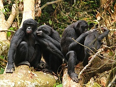 Bonobos during a grooming session (Photo: Zanna Clay /  LuiKotale Bonobo Research Project).