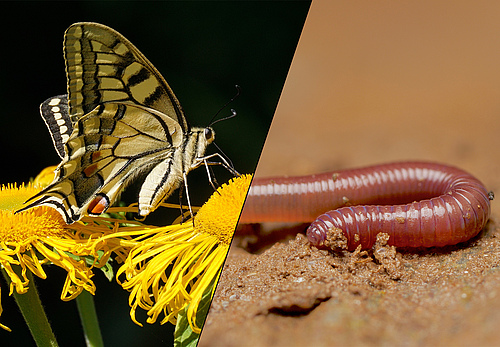 The first part of the tour will be on butterflies, the topic of the second part will be earthworms (photos: le: Susanne Jutzeler/pixabay, ri: Andy Murray).