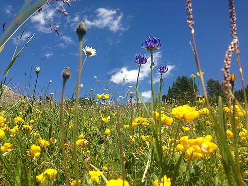 Temperate grasslands of Europe are incredible hotspots of biodiversity and are key habitats of conservation concern. Many are in decline and require ecological restoration for habitat improvement (photo: Emma Ladouceur).