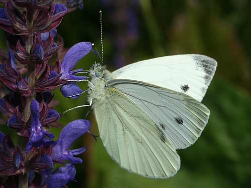 The green-veined white (Pieris napi) is widespread and abundant throughout Europe and one of six species that showed a major population collapse in the UK following the 1995 drought. Photo: Martin Wiemers/UFZ