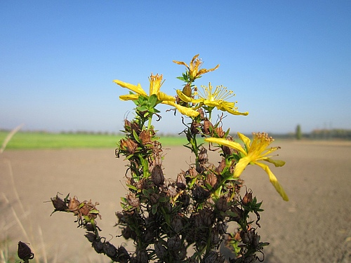 St. John's wort is successful overseas (Foto: Pixabay)