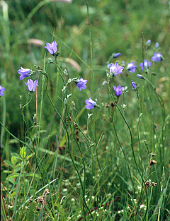 The decrease or extinction of plant species such as the harebell may trigger the coextinction of animal species. Photo: Helge Bruelheide
