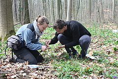Two of the study co-authors, the scientists Carolin Seele (Leipzig University) and Stefan Meldau (Max-Planck-Institute for Chemical Ecology) collect buds for the subsequent analysis of plant hormones and tannins (photo: Bettina Ohse/UL/iDiv).