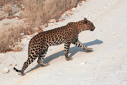 The size ratio between predators like this leopard and their prey, Prof Ulrich Brose and his team identified as key parameter to determine how susceptible ecosystems are to dangers such as climate change. (picture: Bernd Adam)