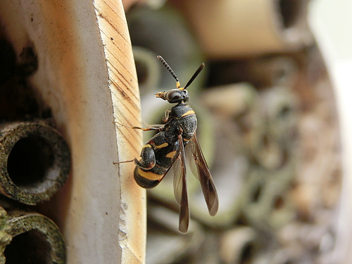 Wasps are being infested by parasitoids.