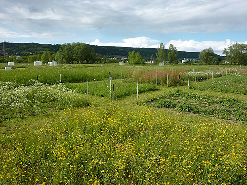The Jena experiment, a grassland biodiversity experiment in Germany. Photo: Anne Ebeling, FSU