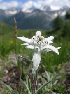 Leontopodium alpinum is an indicator species of calcareous alpine grasslands, and is available from approximately 6% of seed producers across Europe (photo: Emma Ladouceur).