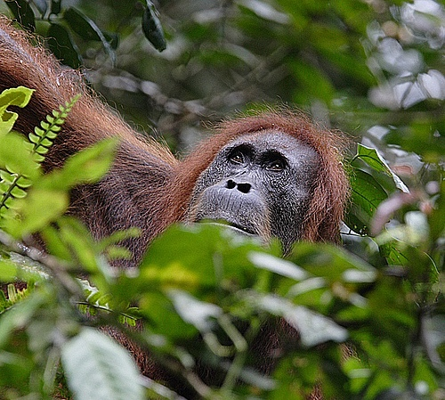 Sumatran orangutans, one of the two existing species of orangutans, live exclusively in the North of the Indonesian island Sumatra. © Perry van Duijnhoven
