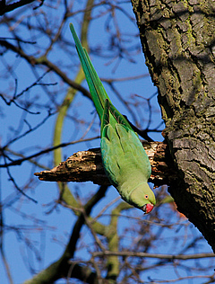 The Rose-ringed Parakeet (Psittacula krameri manillensis) comes from Asia, but has already established in London and is competing with European bird species for food and nesting sites. Photo: Tim M. Blackburn, University College London