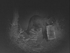 A bear captured by and automatic camera raiding an apiary in Cantabrian Mountains, NW Spain (photo: Antonio Ramos, Guardería del Principado de Asturias).