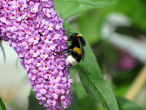 Bumblebees are common pollinators in cities, a new study found (photo: UFZ).