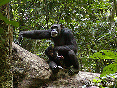 The study focused on the western chimpanzee (Pan troglodytes verus), a critically endangered subspecies (photo: Sonja Metzger / WCF).