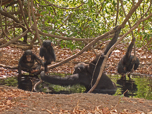 Chimpanzees living in the savanna and grass savanna have adapted their behavior to their difficult living conditions: To protect themselves from overheating, they use water sources for taking a bath. photo: Erin Wessling