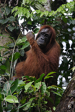 The Sumatran orangutans are threatened by the loss of their natural habitat. © Perry van Duijnhoven