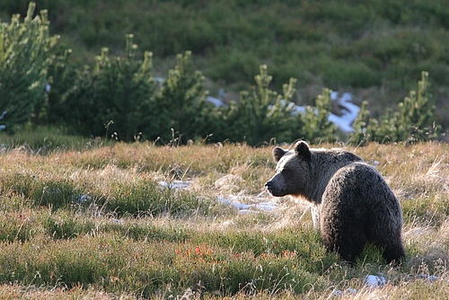Brown bear in the Tatra Mountains, Polish Carpathians (photo: Adam Wajrak).