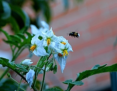 Bumblebees in the city are genetically different from those in the countryside (photo: BarbeeAnne/Pixabay)