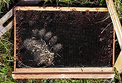 Bear track on a damaged beehive in Slovenia (photo: Miha Krofel).