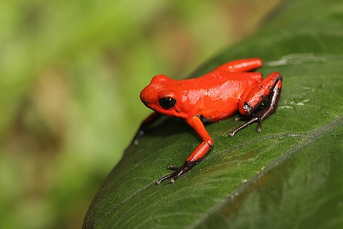 The small tropical frog Oophaga pumilio is a colourful example for high within-species genetic diversity (all photos: Kathleen Preißler).