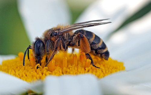 Wild bees provide the important ecosystem service of pollination. (Photo: luise/pixelio.de)