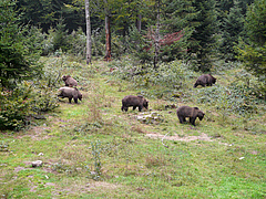 The brown bear (Ursus arctos) is among those carnivore species that are most exposed to roads globally.