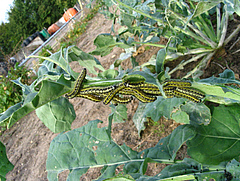Cabbage white caterpillars (Pieris brassicae) were one of the herbivore species used in the study (photo: Nicole Van Dam).