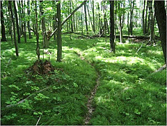 Grass understory in invaded forest (photo: Scott L Loss).