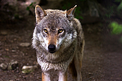 Another species in Germany, the wolf (Canis lupus) is among the top 25% of species most exposed to roads.